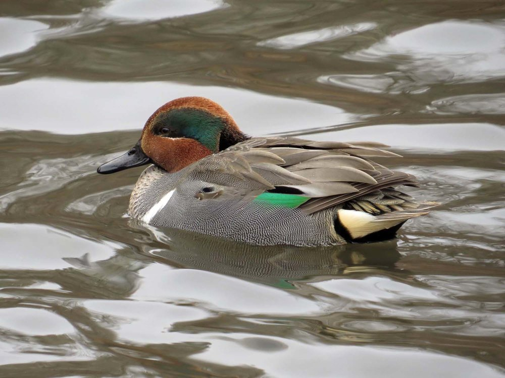 Male green-winged teal, December 21, 2016