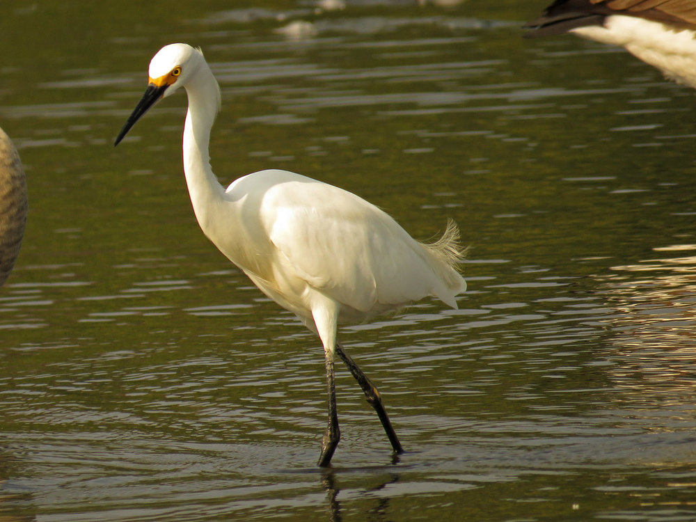 Snowy egret, September 17, 2017, Wolfe's Pond, Staten Island