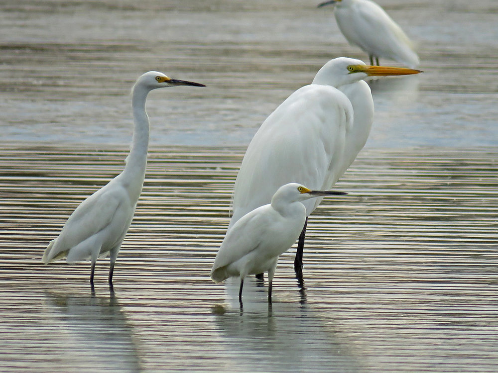 Snowy egrets with a great egret, Jamaica Bay Wildlife Refuge, October 11, 2017