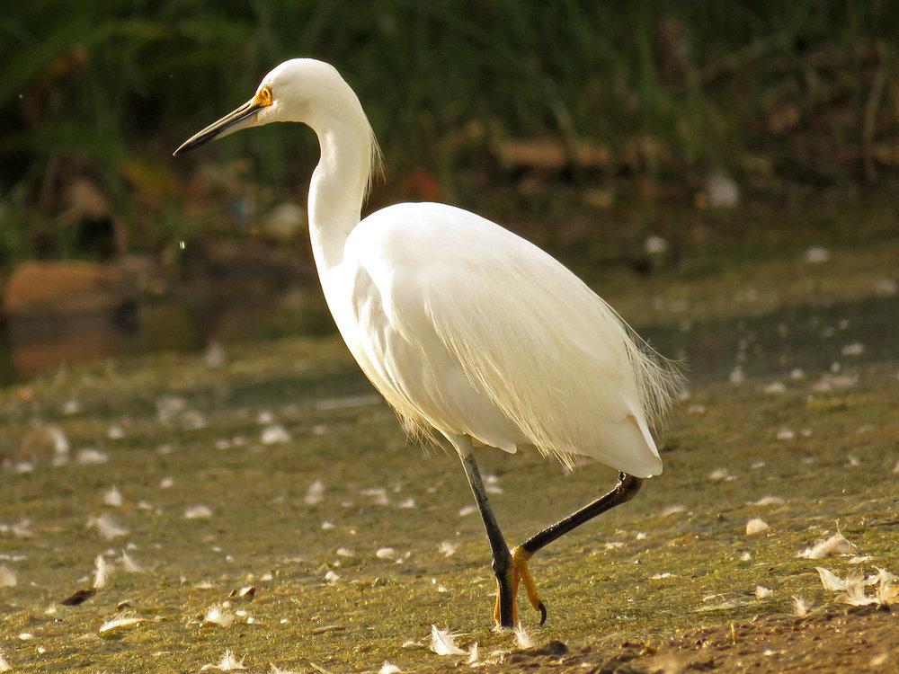 Snowy egret, Wolfe's Pond, Staten Island, September 1, 2017