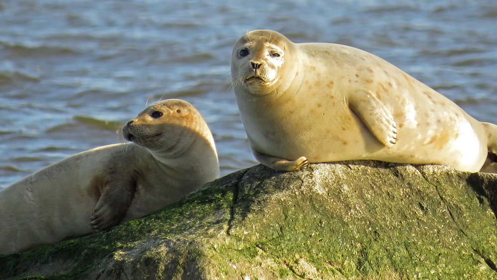 Harbor seals on Staten Island, January 31, 2018
