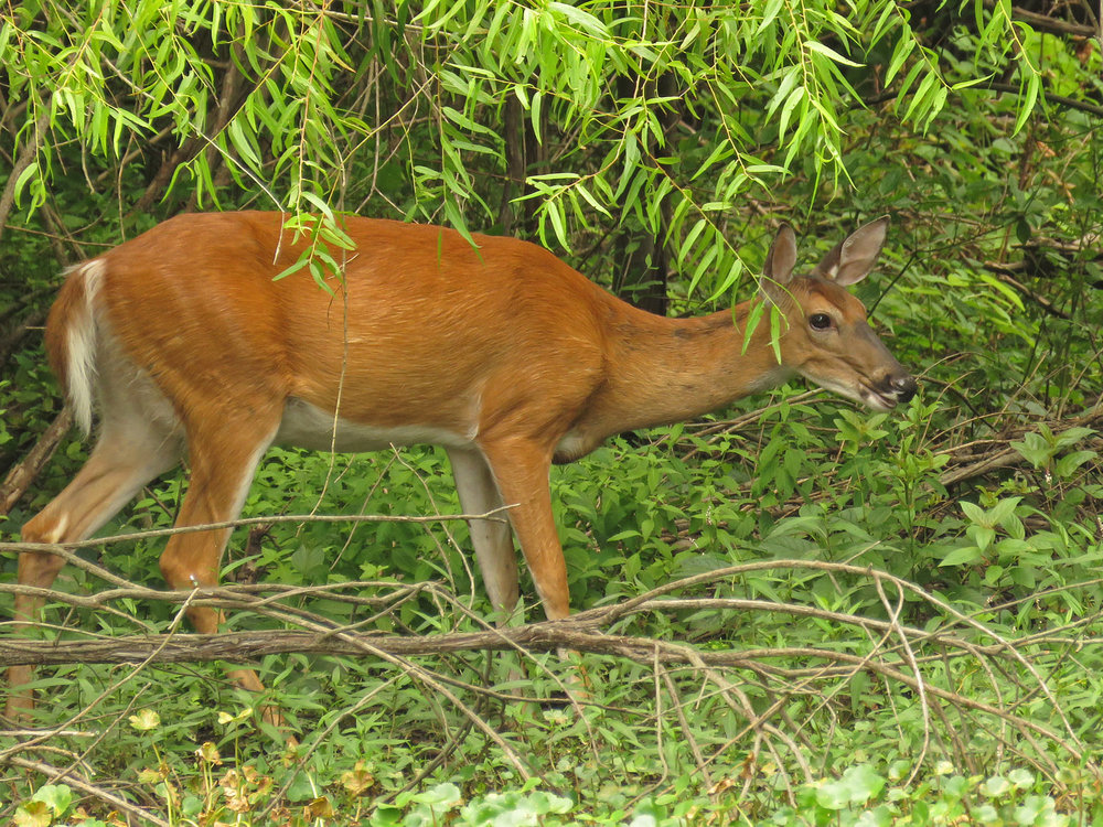 Deer 1500 8-11-2017 097P.jpg