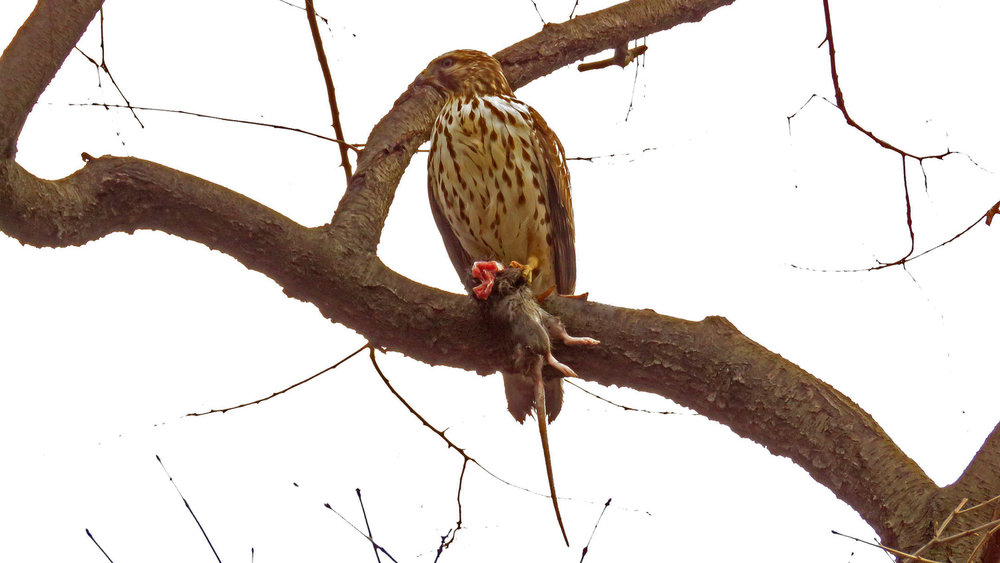 Red-shouldered hawk with rat dinner after too many spectators made the kid nervous.