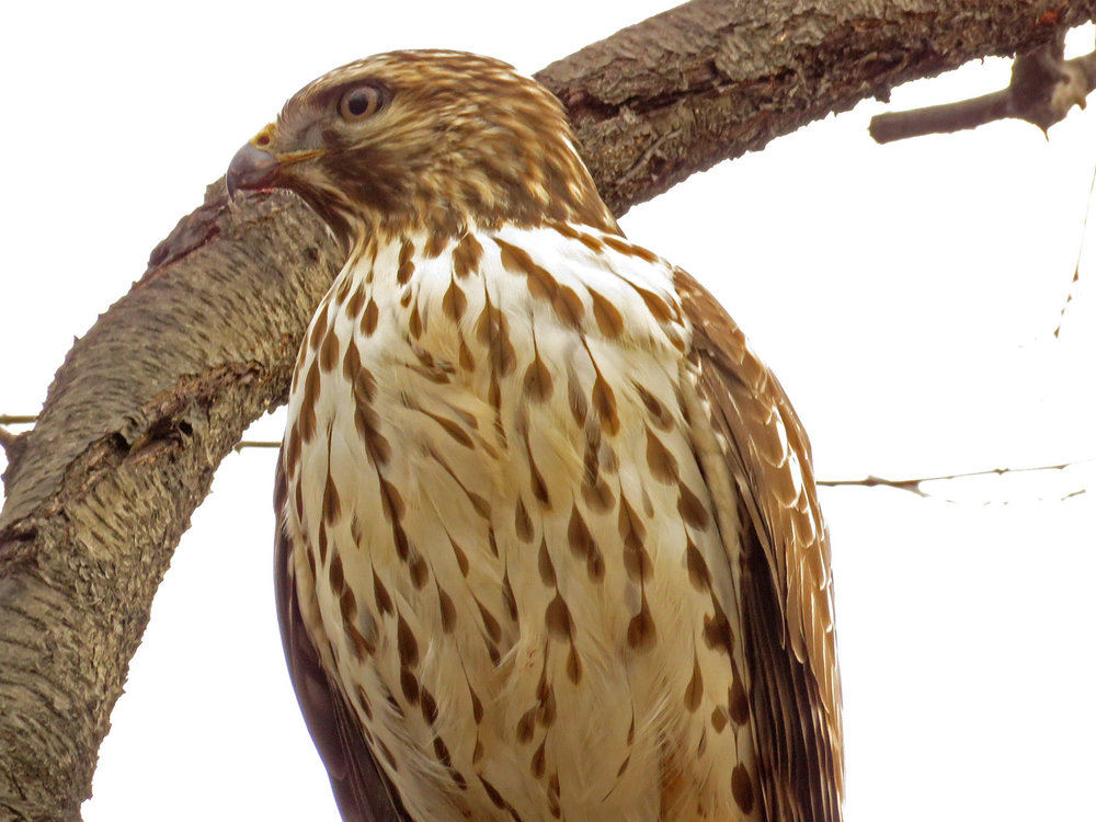 "Note how the darker feathers ""streak"" down the chest, unlike a red-tailed hawk's belly band."