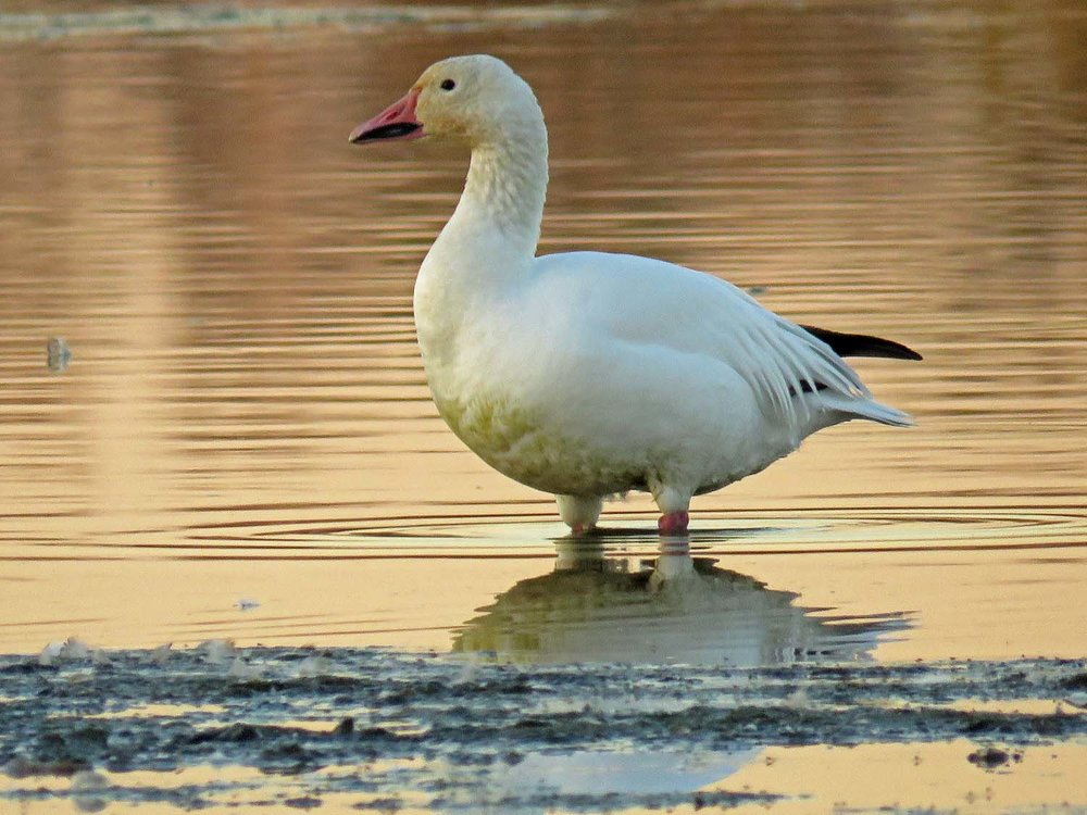 Snow goose, October 10, 2017, Jamaica Bay Wildlife Refuge