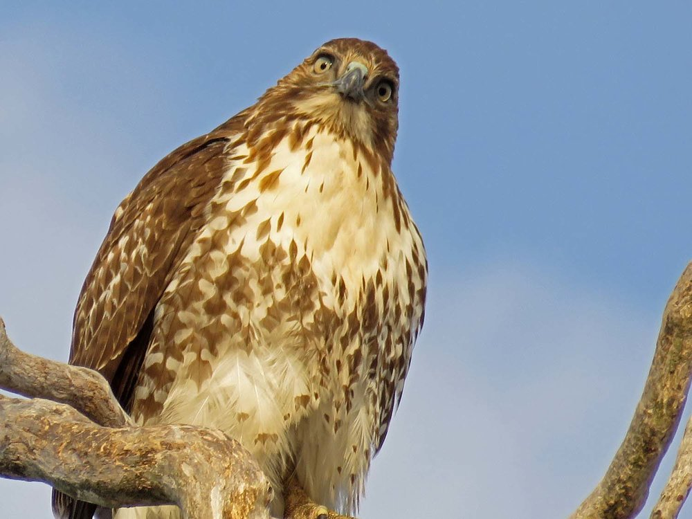 Juvenile red-tailed hawk, Stateline Lookout, January 18