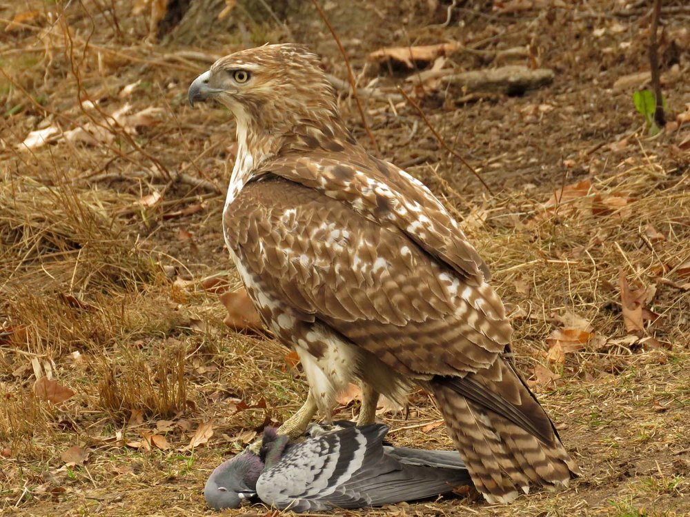 Juvenile red-tailed hawk with pigeon, near Falconer statue, February 1