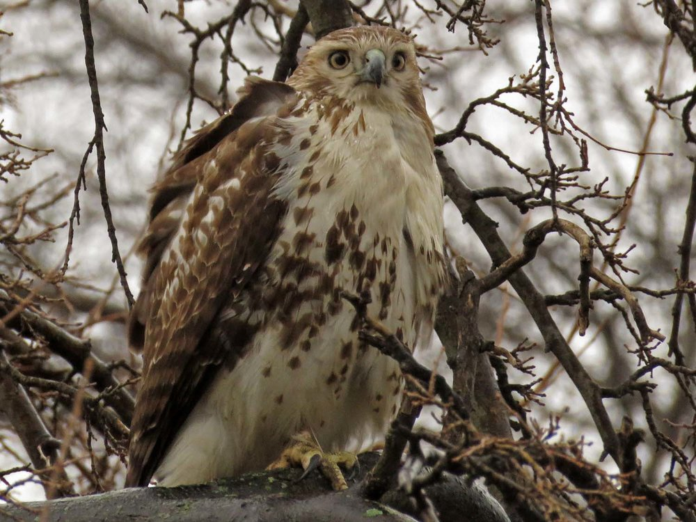 Juvenile red-tailed hawk in rain, Cherry Hill, February 16