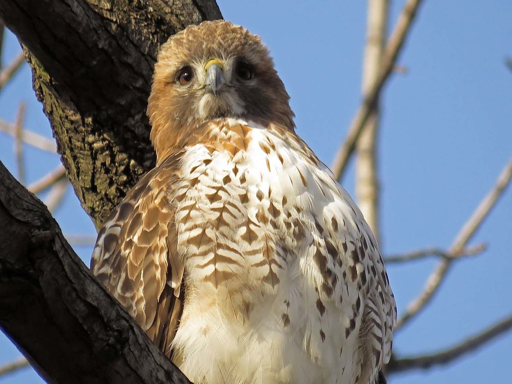 Adult visiting red-tail near Reservoir, February 18