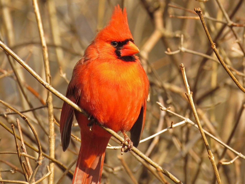 You want a yellow cardinal! Check out my yellow! And my red! I ates me cranberries!