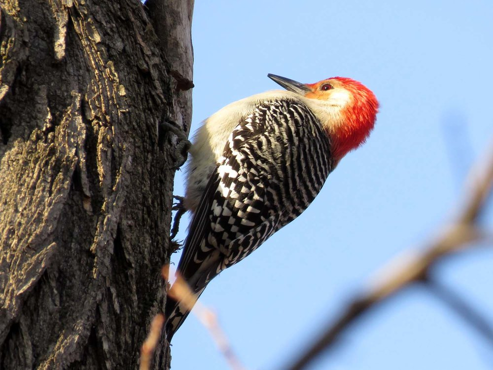 Red-bellied woodpecker near Rustic Shelter in Central Park