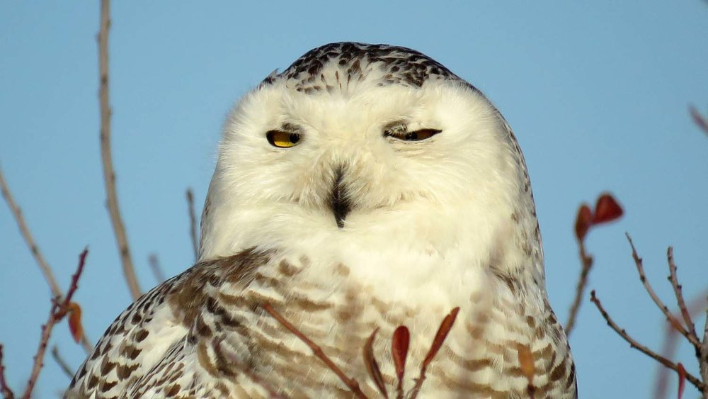 Snowy owl, Breezy Point, Queens, February 27, 2018