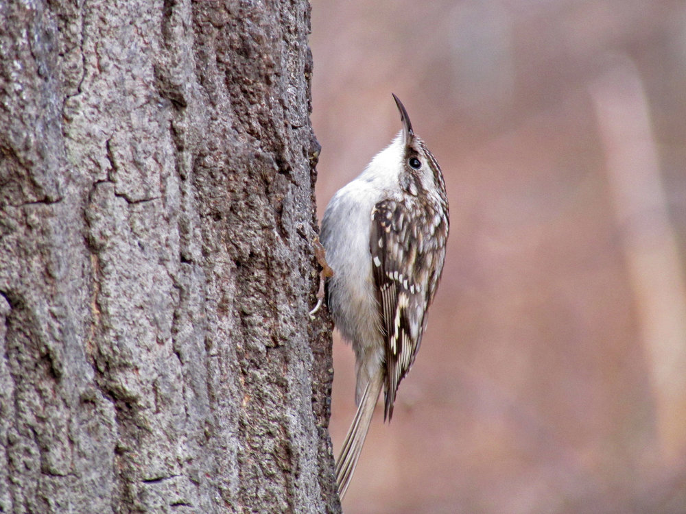 Brown creeper, Central Park, January 13, 2014