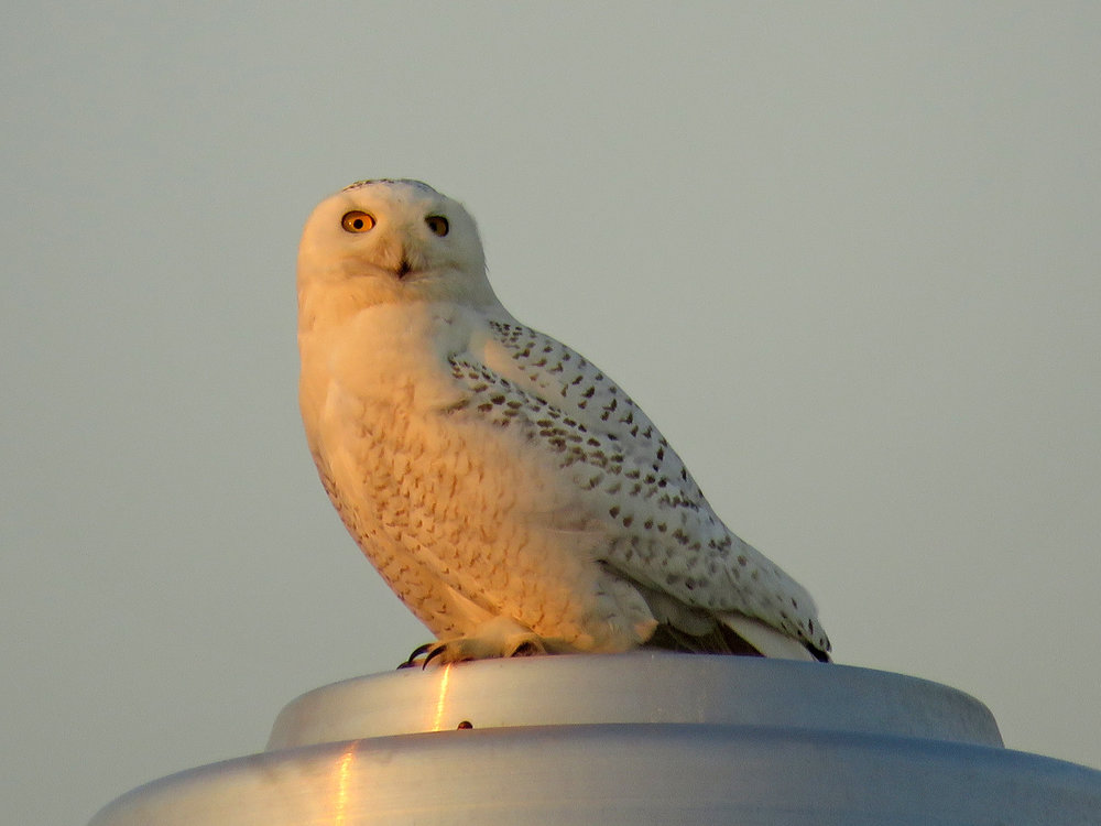 Snowy owl, the beach house north of Fort Tilden, March 15, 2018