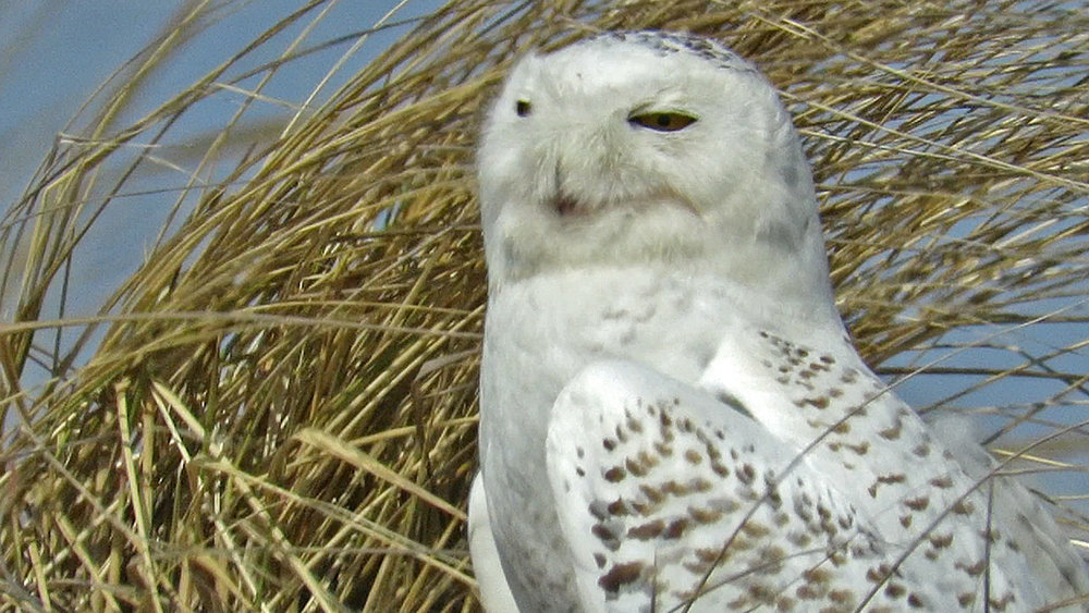 Snowy Owl 1500 3-15-2018 60AP.jpg