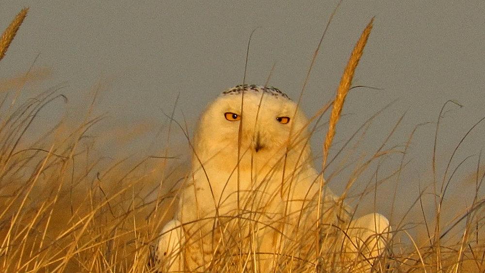 Snowy Owl 1500 3-15-2018 483A.jpg