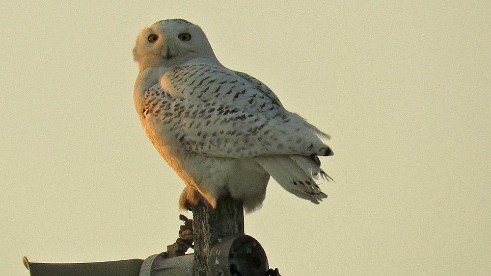 Snowy Owl 1500 3-15-2018 521B.jpg