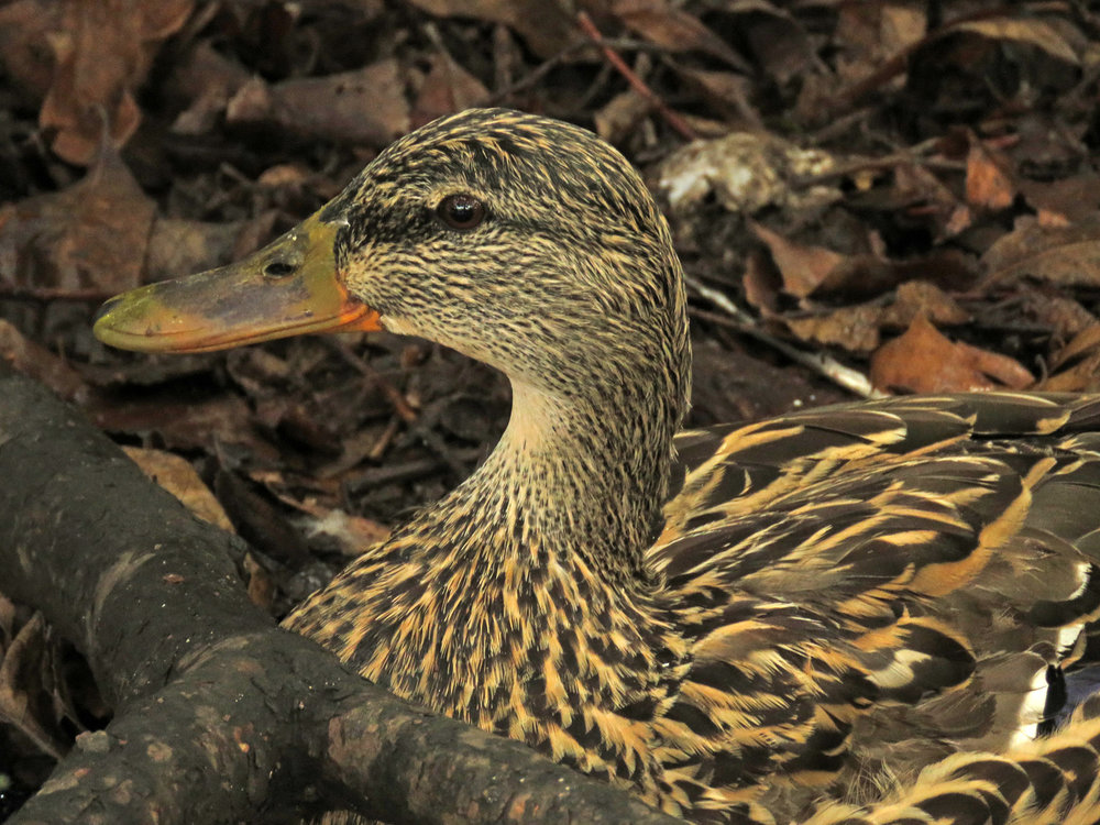 The female mallard remained under the bush for a couple of minutes after the forced copulation.