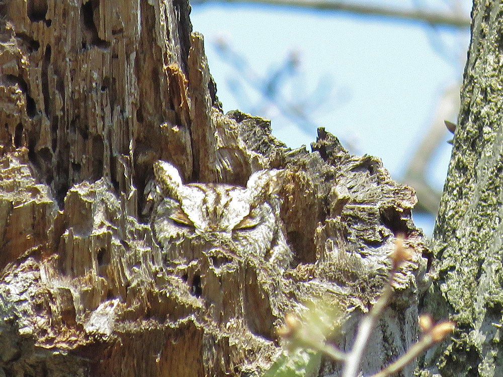 Eastern screech-owl, Inwood Hill Park, April 14, 2018