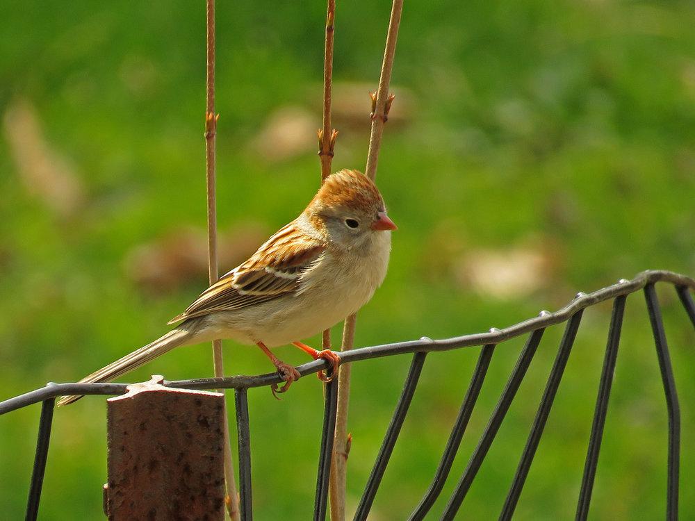 Field sparrow, Central Park, April 13, 2018