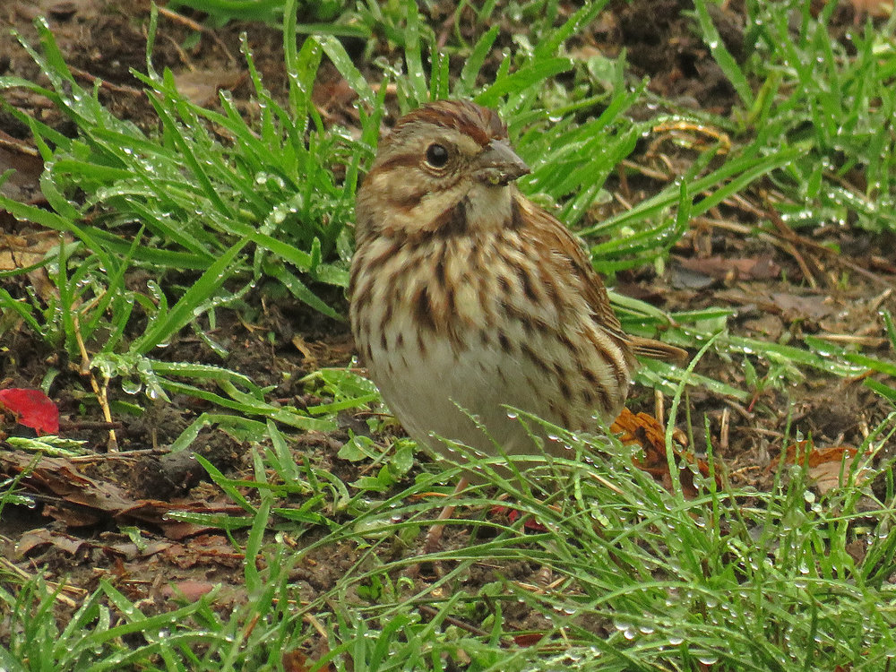 Song sparrow, Central Park, April 25, 2018