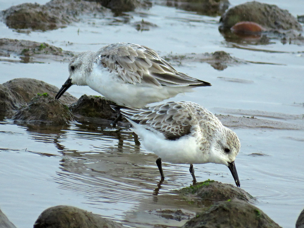 Sanderlings, the beach near Wolfe's Pond, Staten Island, April 21, 2018