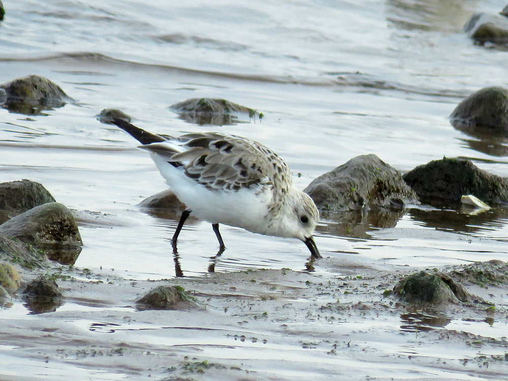 Sanderling, Wolfe's Pond, Staten Island, April 21, 2018
