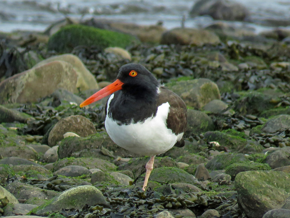 American oystercatchers, Wolfe's Pond, Staten Island, April 21, 2018