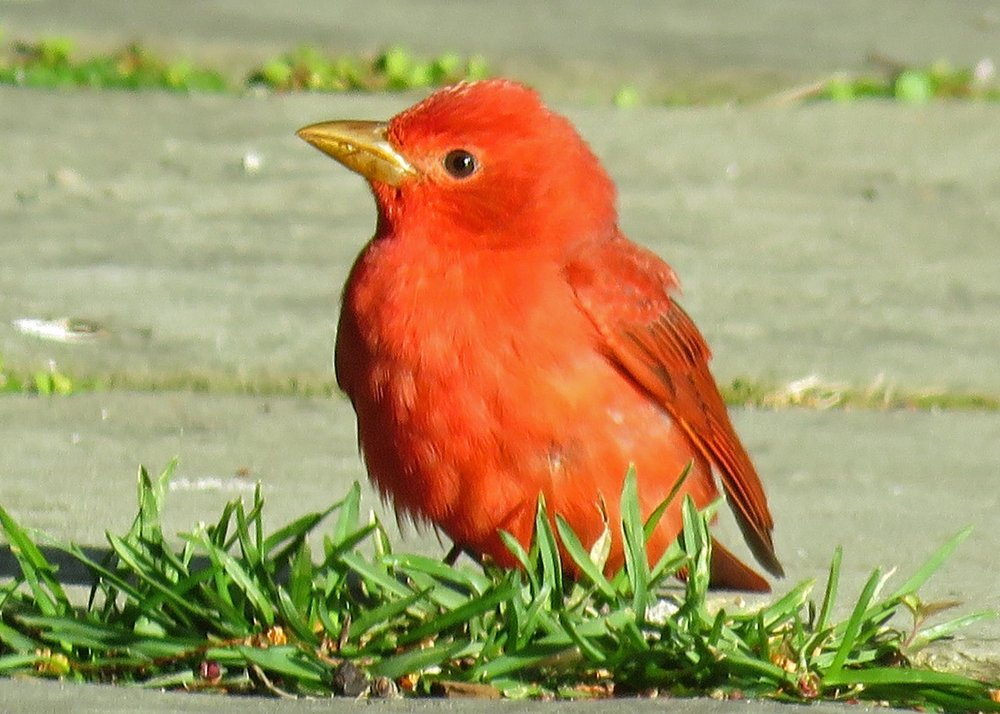 Male summer tanager, Conservatory Garden, April 18, 2018