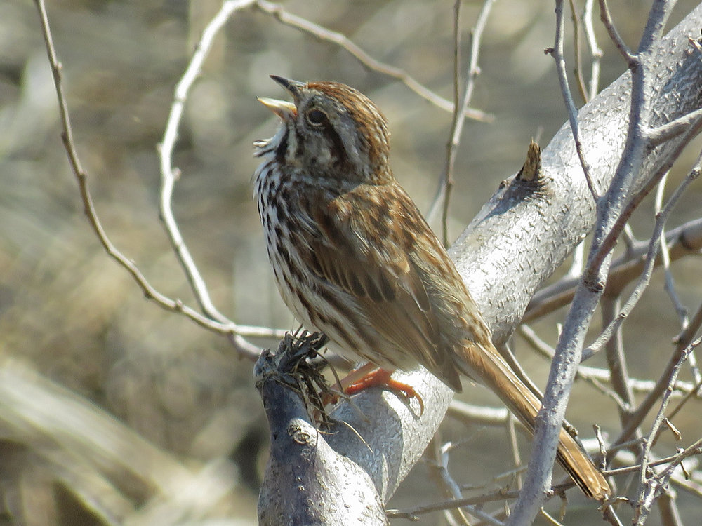 I am song sparrow, hear me sing! Marine Park, Brooklyn, April 28, 2018