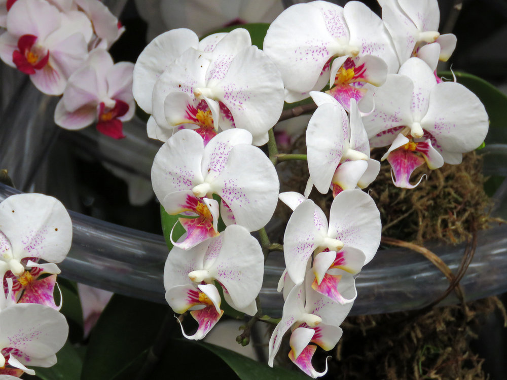 Orchid 1500 4-17-2018 NYBG 020P.jpg