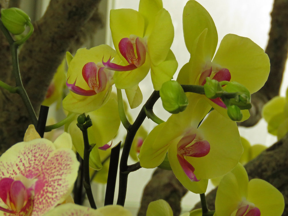 Orchid 1500 4-17-2018 NYBG 203P.jpg