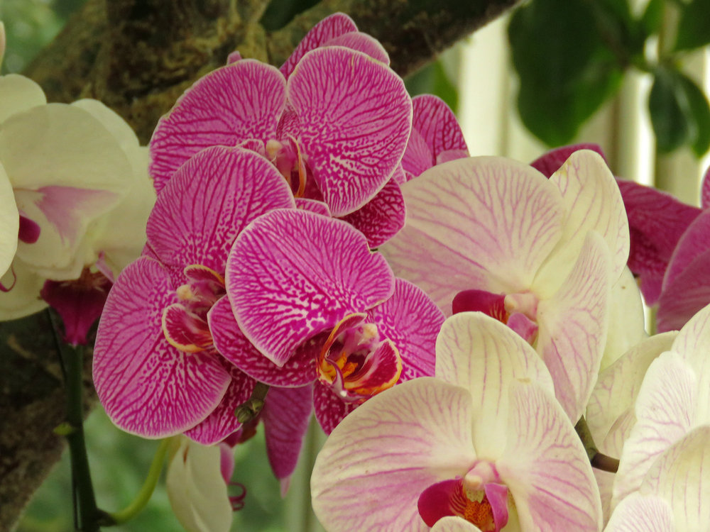 Orchid 1500 4-17-2018 NYBG 207P.jpg