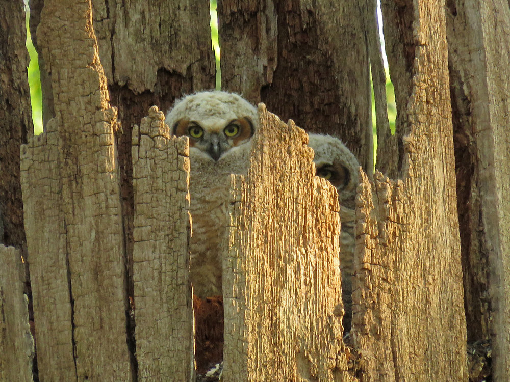 Great horned owlets at Pelham Bay Park, May 8, 2018
