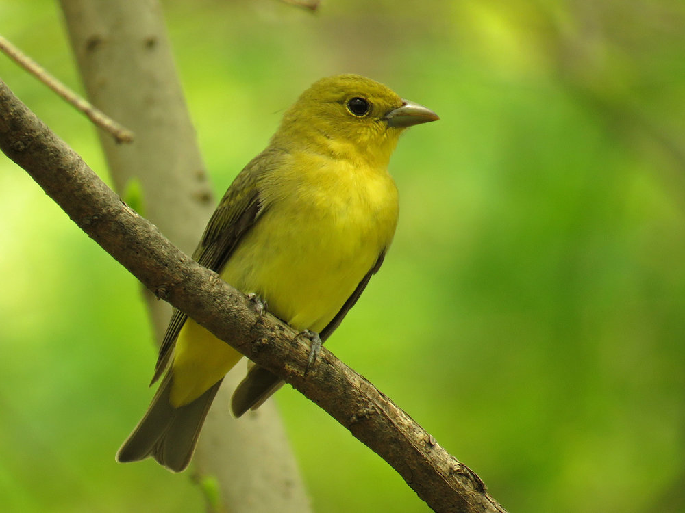 Female scarlet tanager, Central Park, May 5, 2018