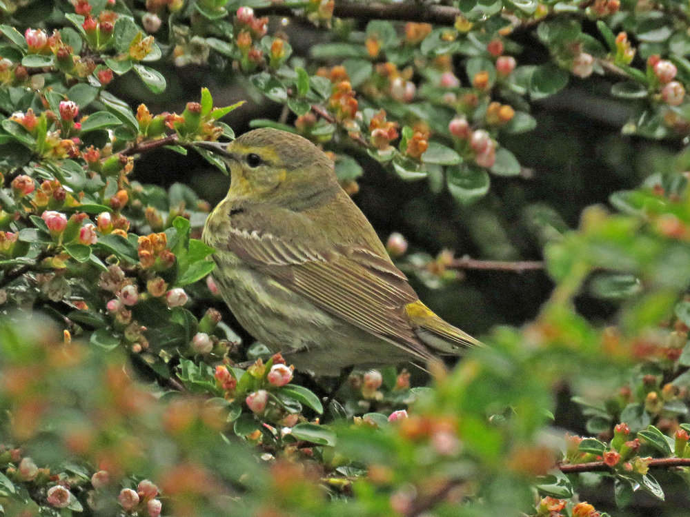 Female Cape May warbler, Central Park, May 19, 2018