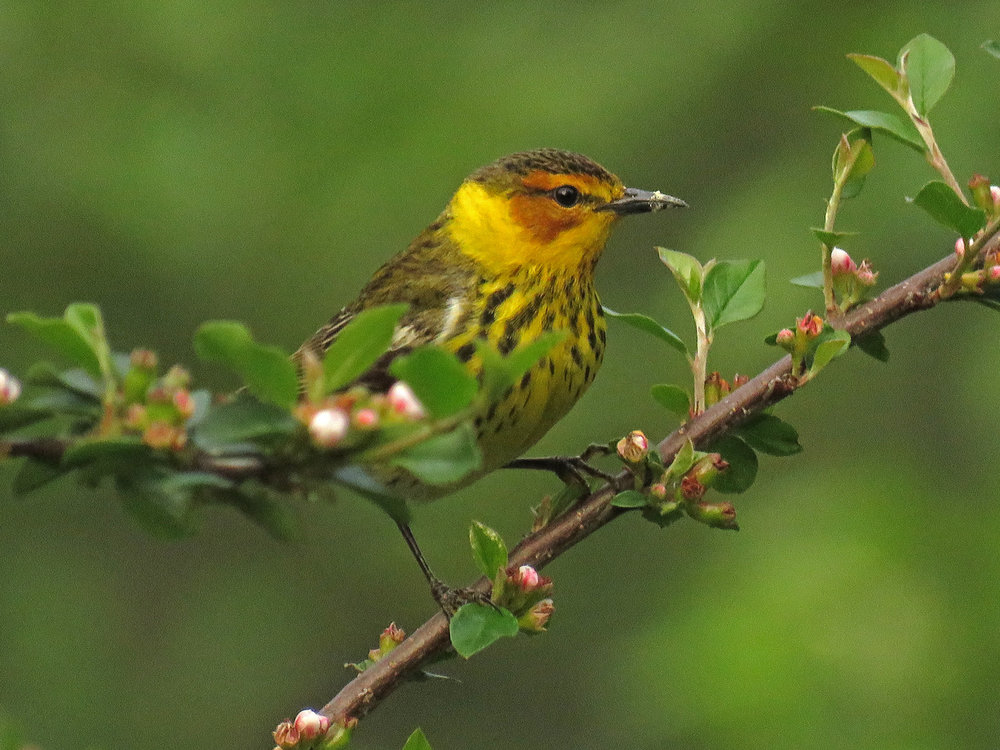 Male Cape May warbler in the magic cotoneaster bush, Central Park, May 20, 2018