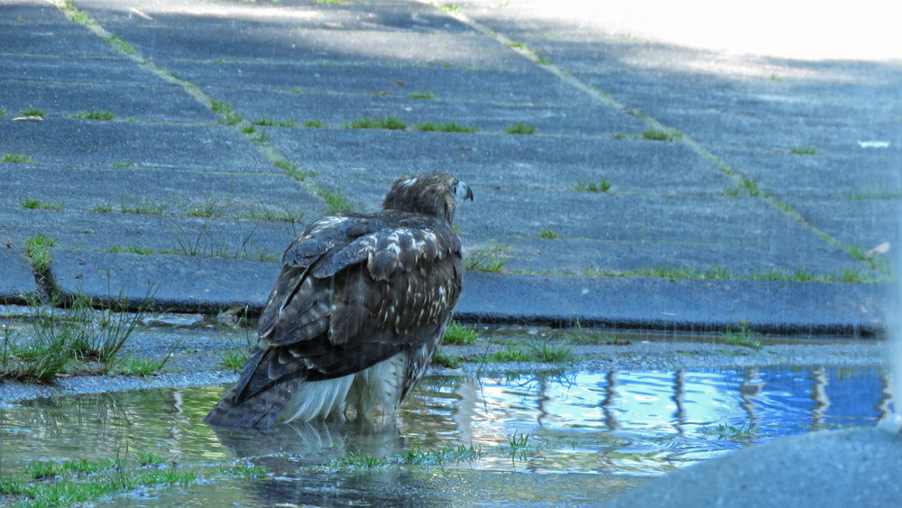 The third fledgling, June 16, on day seven without being fed. She finds the water so enticing!
