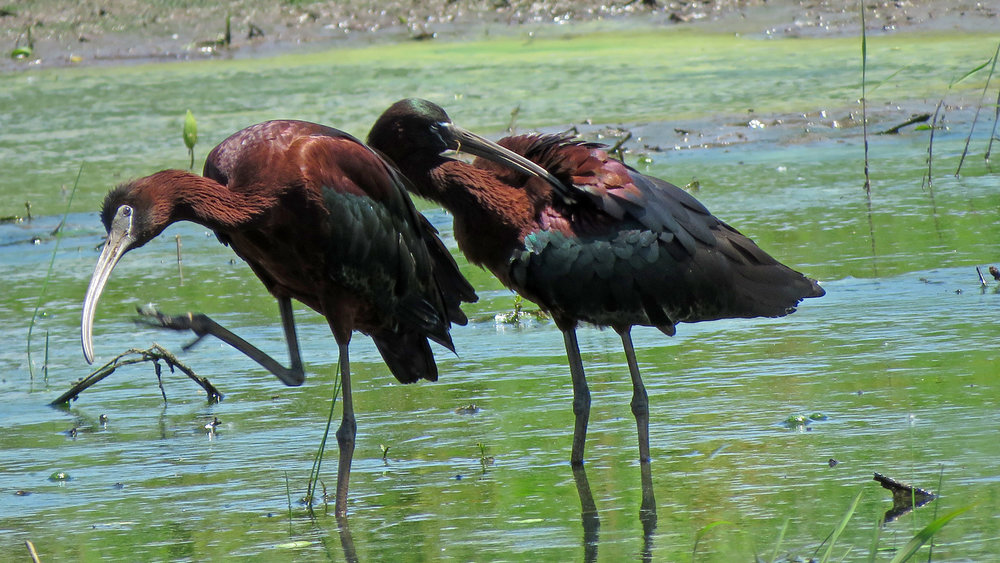 Glossy ibises, Mount Loretto Unique Area, June 19, 2018
