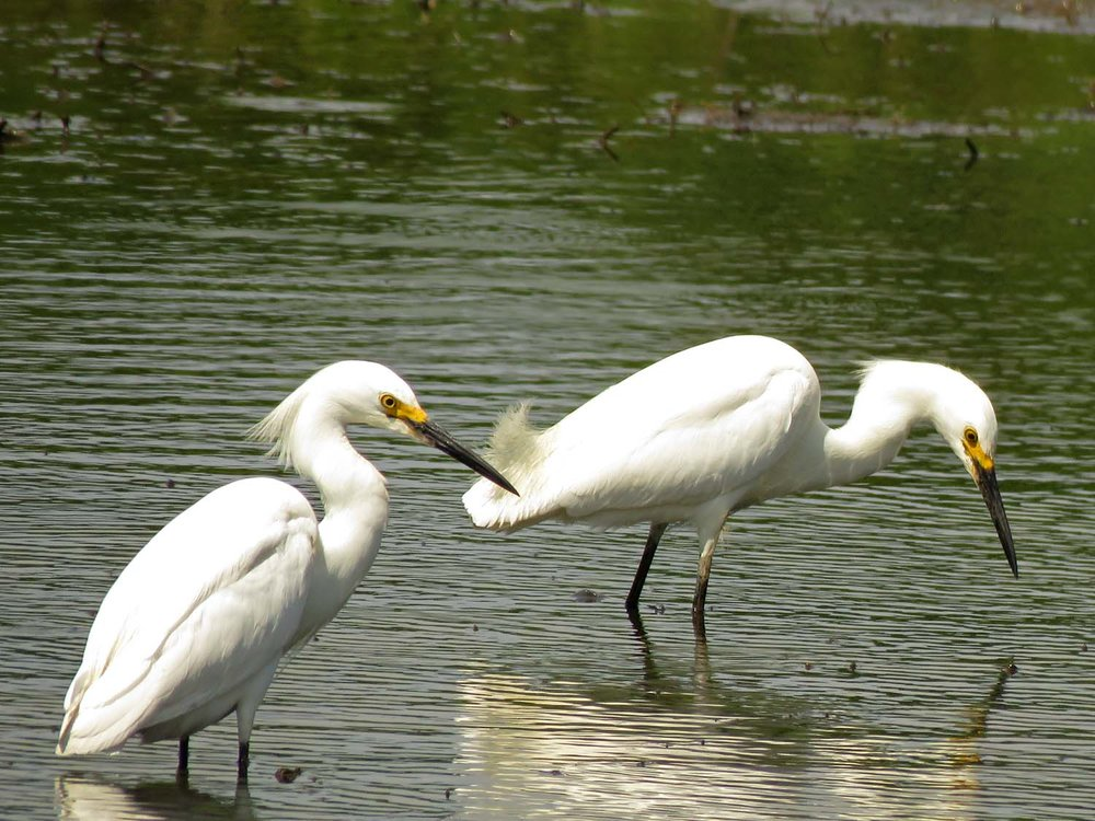 Snowy egrets, Mount Loretto Unique Area, June 20, 2018