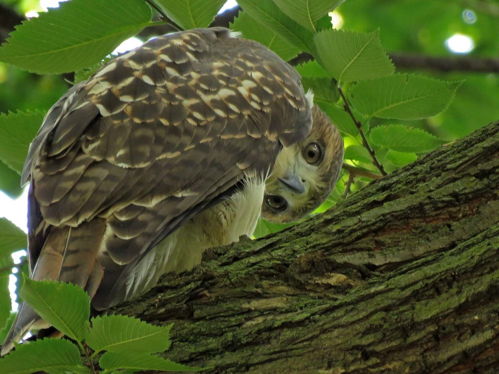 Tompkins Square red-tailed hawk fledgling, August 10, 2018