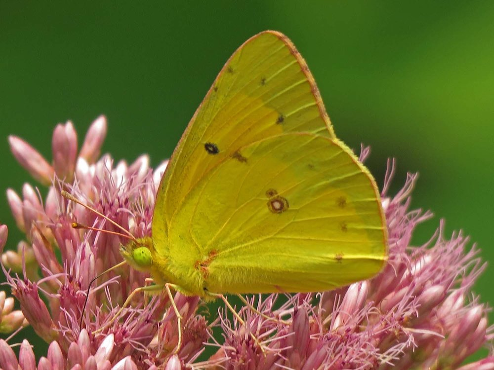 Sulphur butterfly, Snug Harbor, August 10, 2018