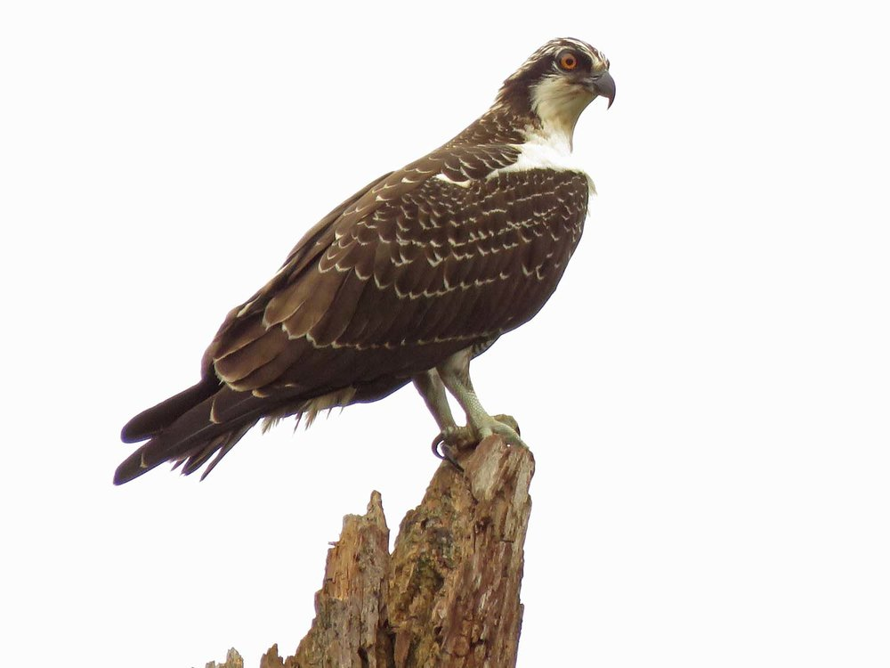 "A majestic osprey, ""King of the World,"" Mount Loretto State Forest, August 21, 2018"