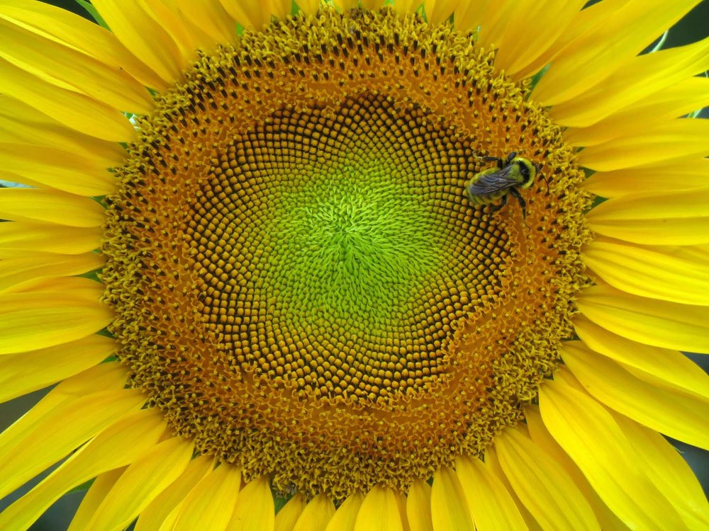 Sunflower and bee, Governors Island on a wickedly hot day, Sept. 5, 2018