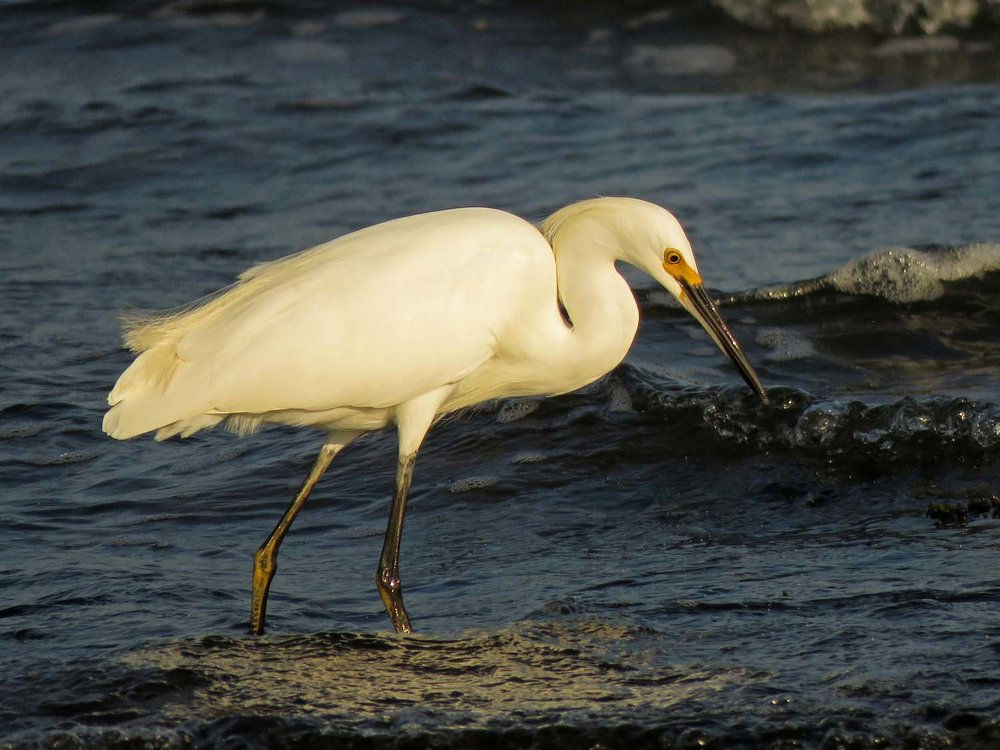 Snowy egret, Wolfe's Pond, September 15, 2018