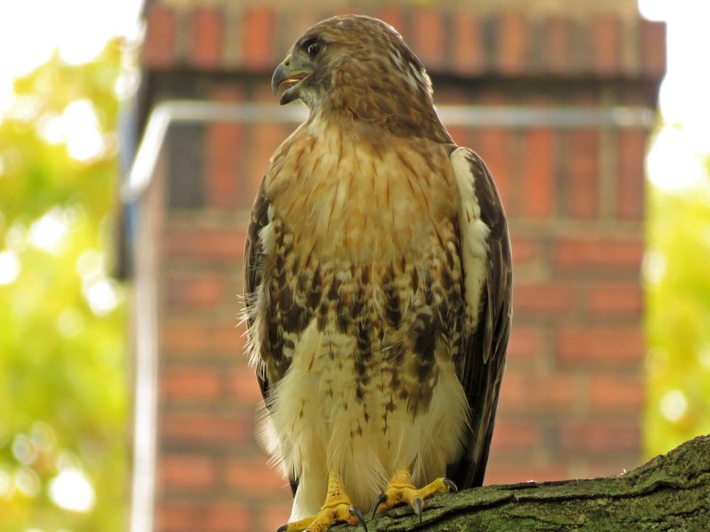 Adult red-tailed hawk, Governors Island, October 7, 2018