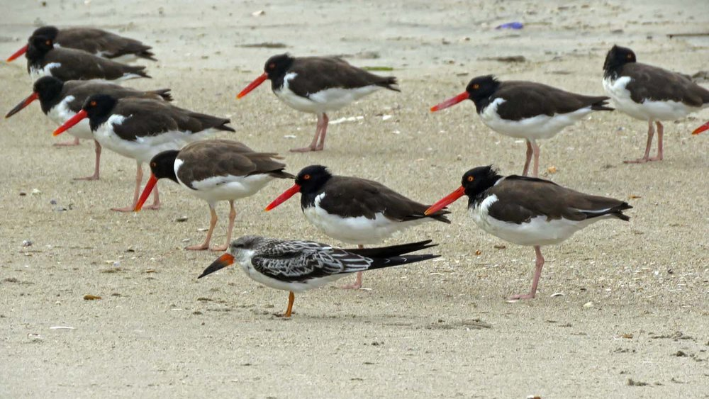 Young black skimmer with American oystercatchers, October 2, 2018, on the beach at Breezy Point, Queens