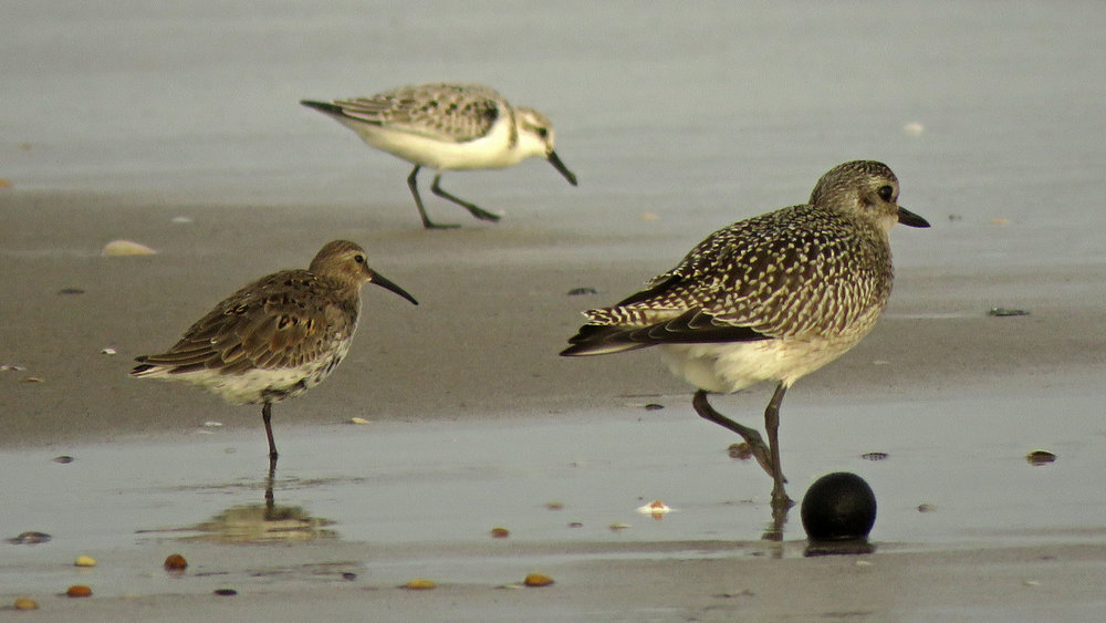 Dunlin (left), sanderling, and black-bellied plover, Breezy Point, Queens, October 2, 2018
