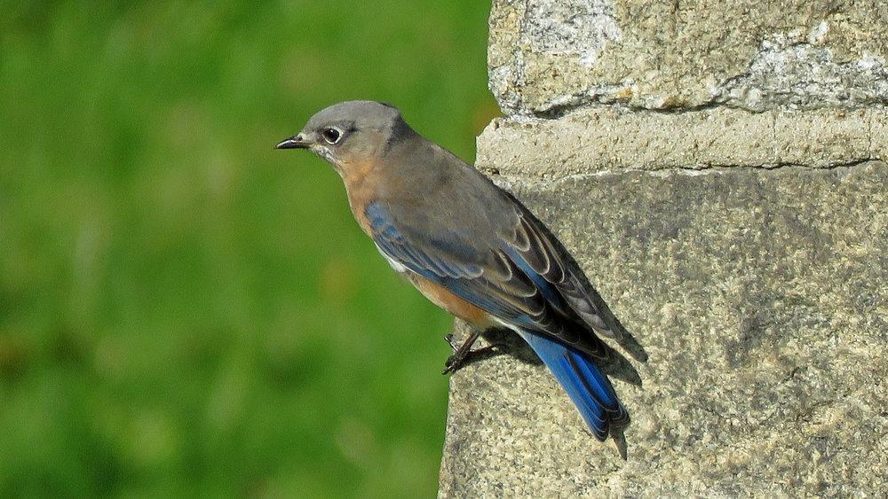 Bluebird 1500 10-31-2018 GI 218P.jpg