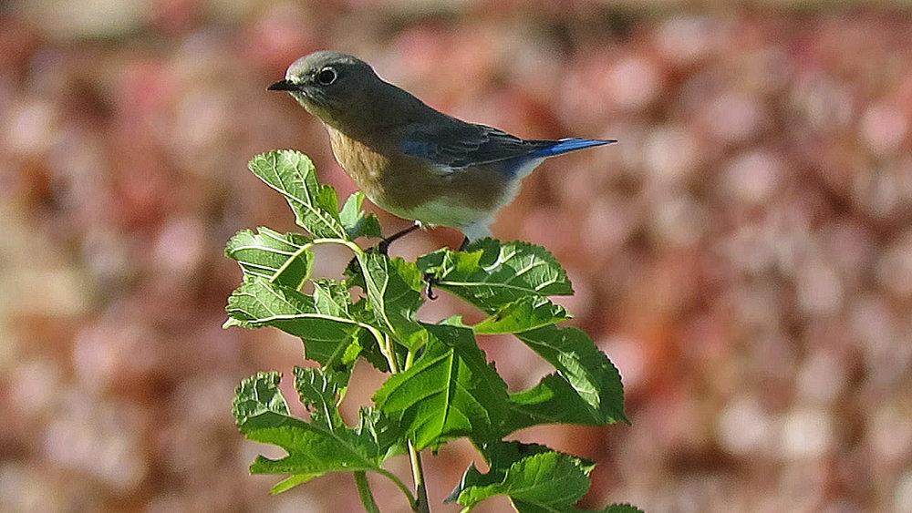 Bluebird V 3.jpg